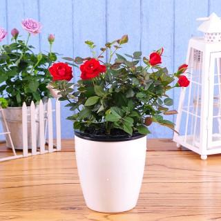 玫瑰月季盆栽
